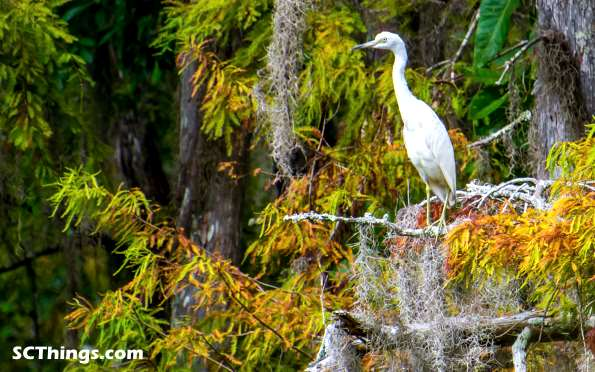 Great egret swamp tree small