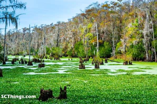 Santee Coastal Reserve SC swamp small