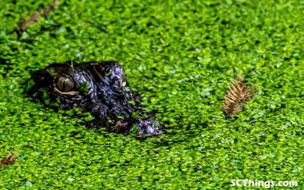 gator head green marsh SC