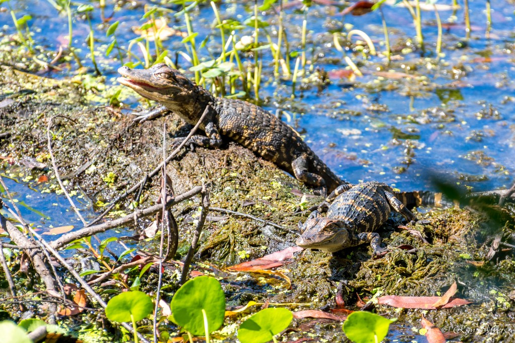 2 Baby Alligators sunning