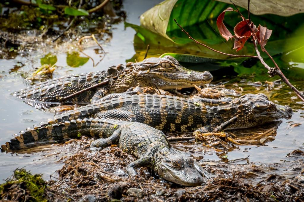 3 Chillin Baby Alligators