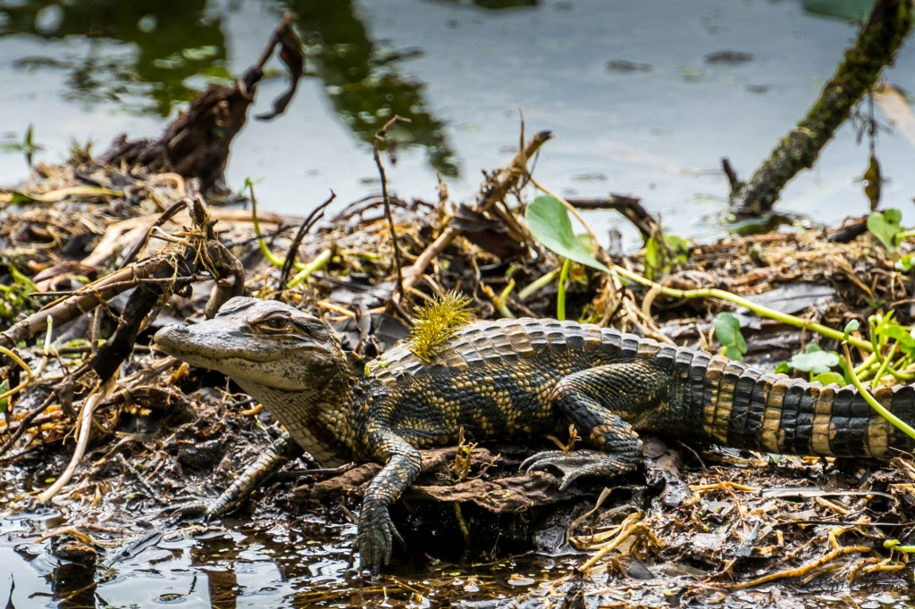 Chillin Baby Alligator